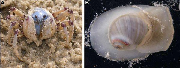 Rakova Mictirys longicarpus (veličina tijela - oko 15 mm bez noge raspona) i puž Conuber sordidus (dužina shell - 15-20 mm) (fotografija autora).