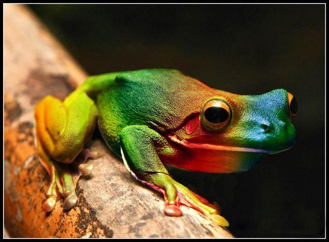rainbow žaba