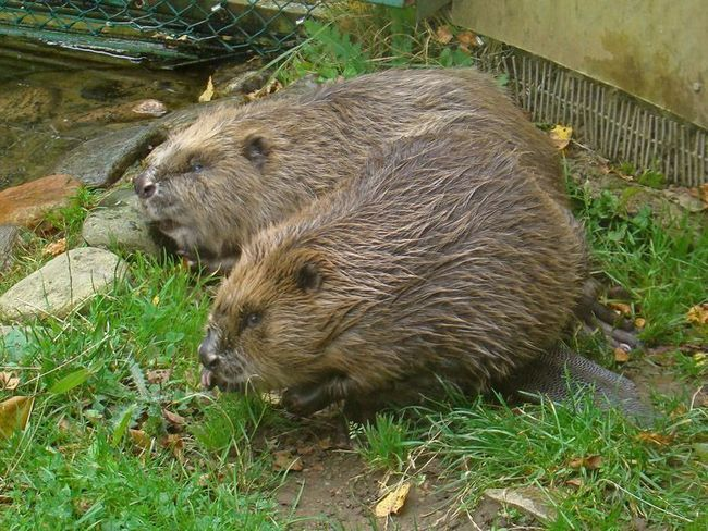 Beaver - graditelj.