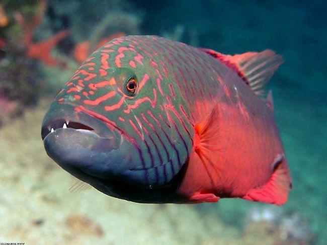Riba Wrasse.
