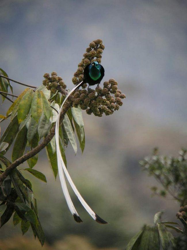 Astripije - long-tailed rajske ptice.
