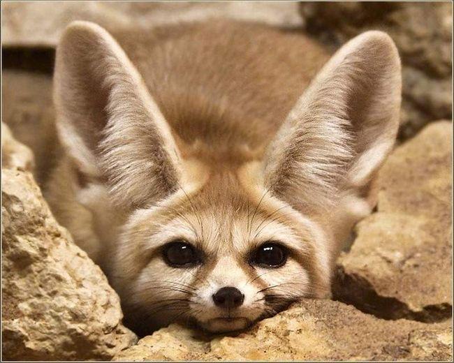 Fenech - ušima lisice.
