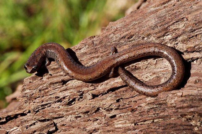 California vitke salamander.
