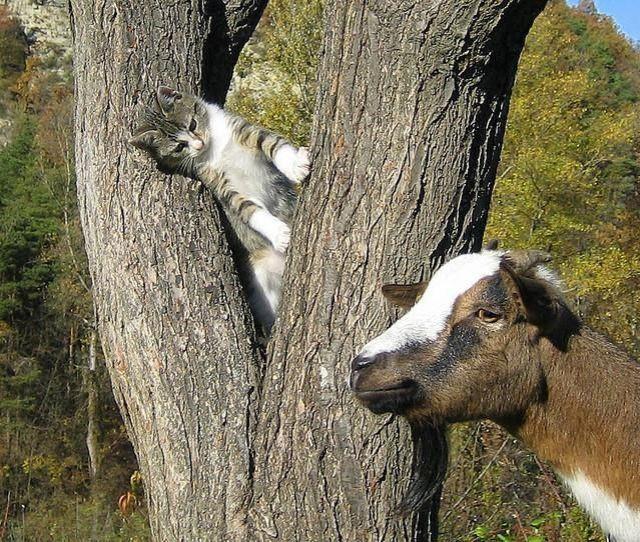 Кот породы мейн-кун по кличке Стьюи занесен в Книгу рекордов Гиннесса