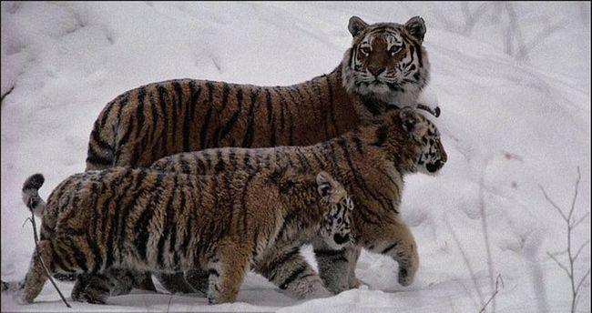 14 februar dolazi godine Tiger
