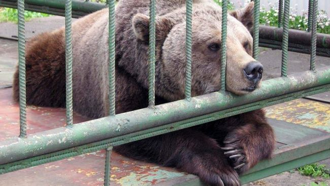 15. avgust će označiti Čeljabinsk zoološkom vrtu medved festivala.