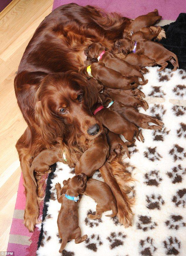 15 štenaca doveo u leglo irski seter u Velikoj Britaniji