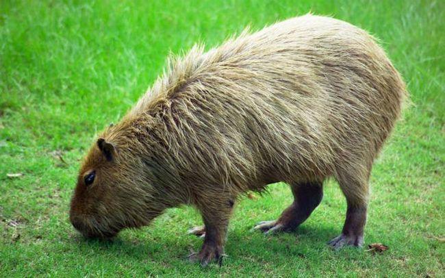 Эволюция может превратить грызунов в гигантских хищников