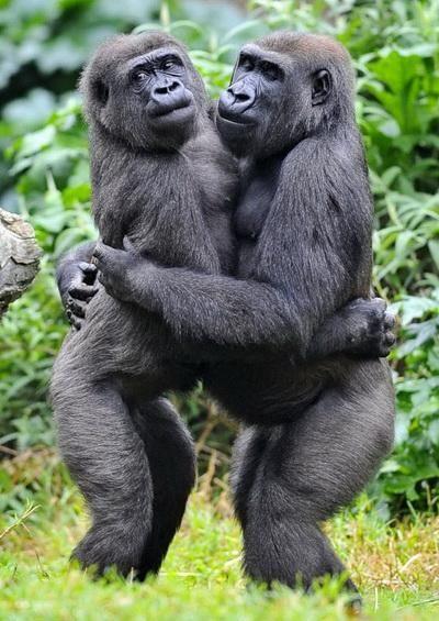 Američki turista je bio suočen sa porodicom planinskih gorila