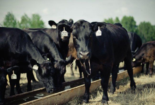Aberdeen Angus pasmine goveda