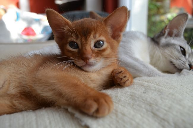 Abyssinian: foto i opis pasmine