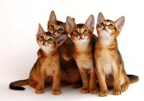 CatsAbyssinian1
