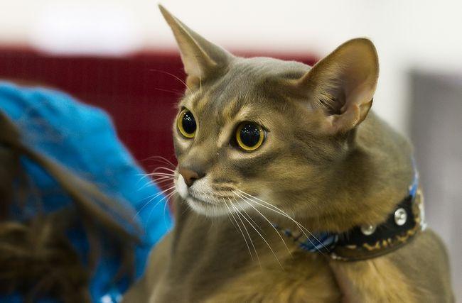 Abyssinian mačka rase: karakternih osobina