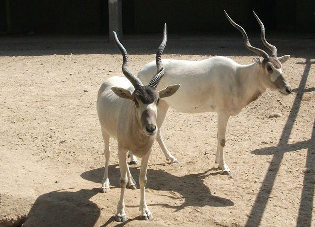 Аддакс (лат Addax nasomaculatus)