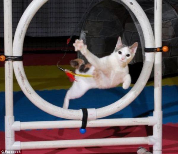 Аджилити для кошек