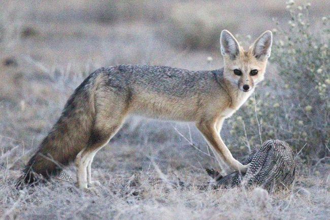 Афганская лисица (Vulpes cana).