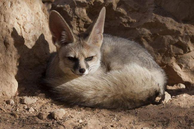 Афганские лисицы занесены в Красную книгу.