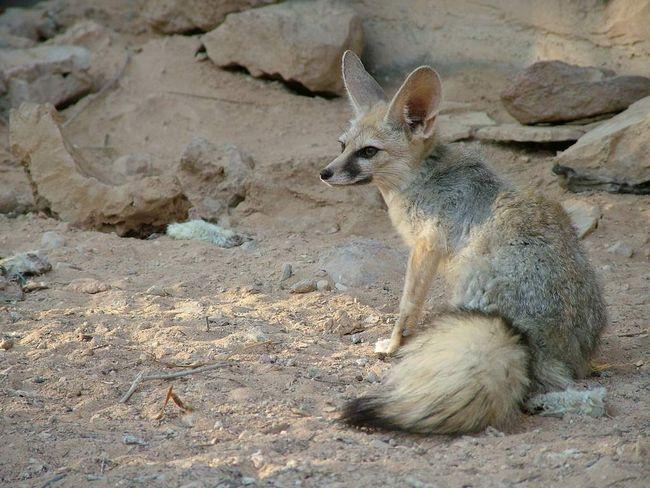 Самки и самцы белуджистанских лисов внешне похожи между собой.
