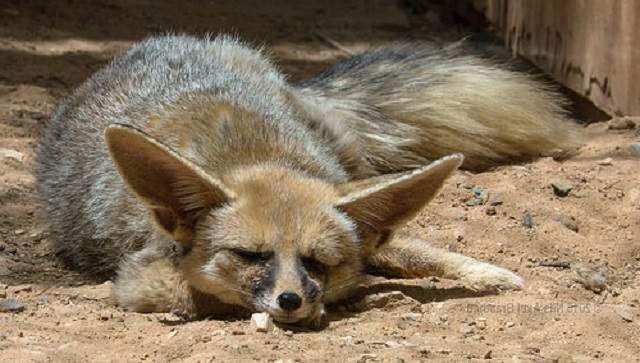 Афганская лисица была описана как вид кошачьей внешности и поведения.