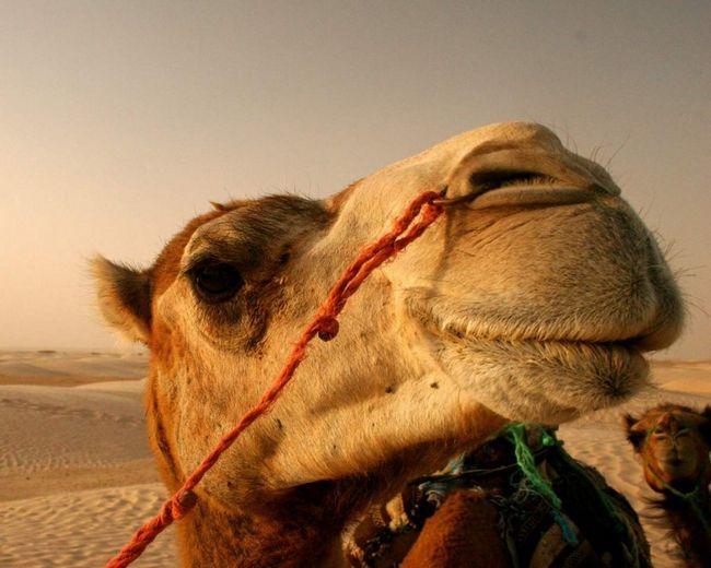 Camel šutirao marinaca.