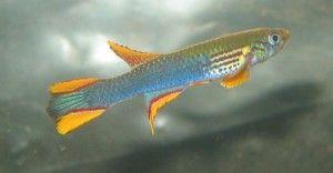 blue afiosemion