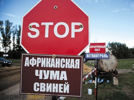 Африканская чума свиней — описание заболевания