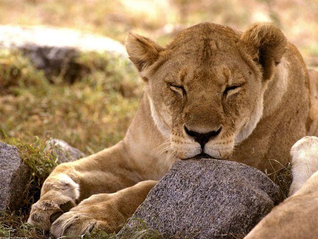 Afrički lav