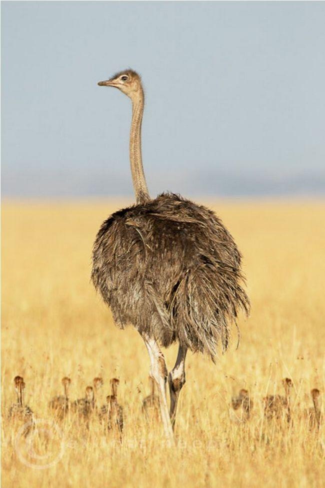 Africký pštros (lat. Struthio camelus)