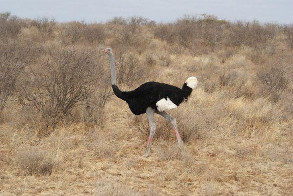 Самец сомалийского подвида африканского страуса