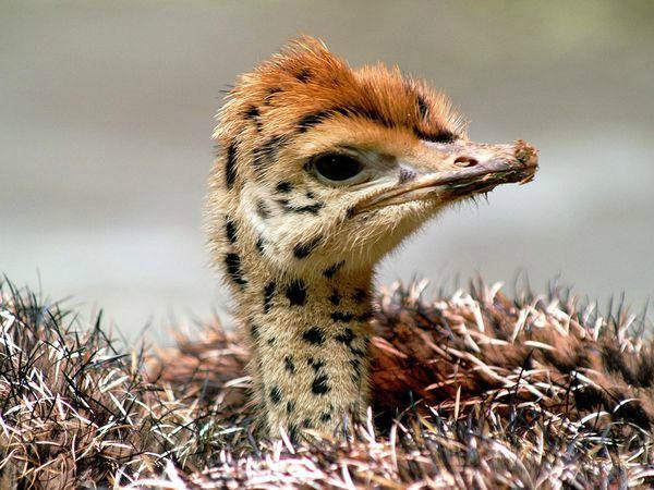 Птенец африканского страуса