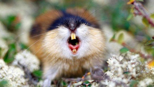 Агрессия и яркая окраска леммингов защищает их от хищников