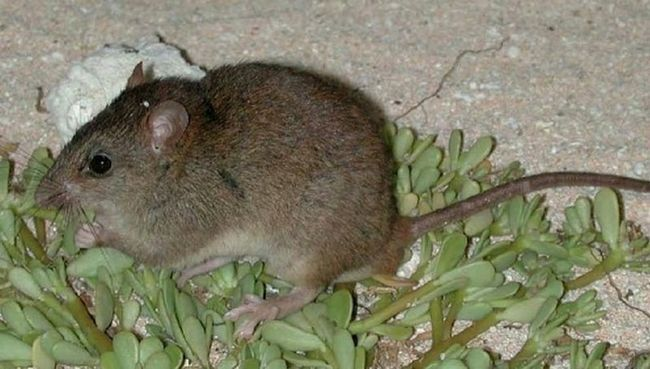 В центре лондона нашли гигантскую дохлую крысу