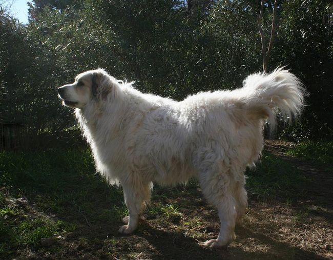 Aidi nebo atlas Shepherd (Aidi, Chien de I`Atlas, Atlas ovčák, Kabyle Dog)