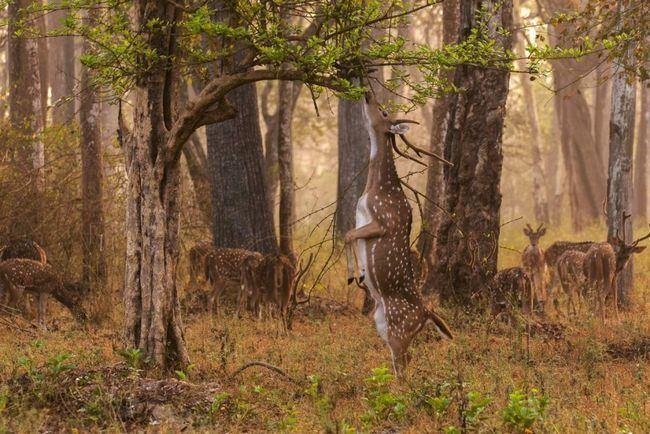 Axis - půvabná jelen s načervenalou-zlaté vlasy, zdobené s malými bílými skvrnami.