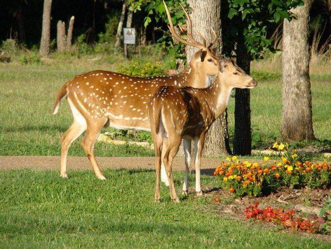 Axis - nejčastější jelen v Indii.