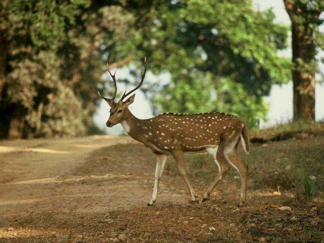 Nejnebezpečnější pro toto jeleni jsou na bengálský tygr, červený vlk, leopard, hyena, šakali a krajty.