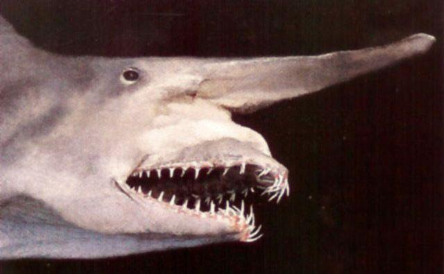 Акула-гоблин, акула-домовой, акула-носорог или скапаноринх (лат. Mitsukurina owstoni) — глубоководная акула