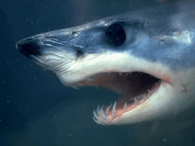 Sharks zubi rastu čitav život, se stalno ažuriraju.