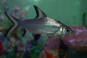 Акулий балу: содержание и совместимость с другими рыбками