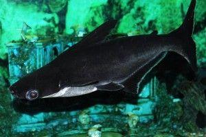Аквариумная акула, или акулий сомик
