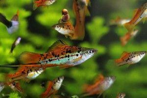 Аквариумная рыбка меченосец: содержание и уход