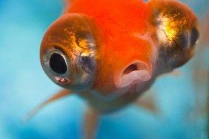 Аквариумная рыбка телескоп