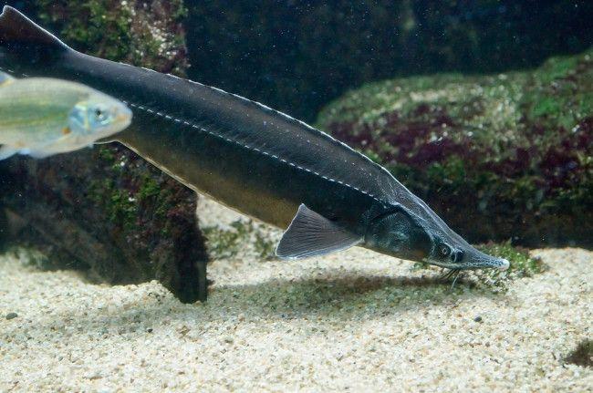 Sturgeon de pește de cartilaj.