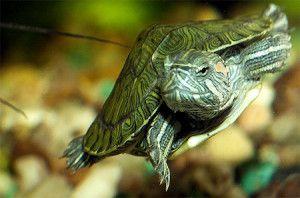 Vodene kornjače