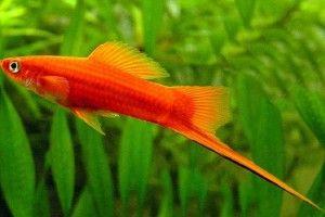 Аквариумные рыбки меченосцы: размножение и содержание