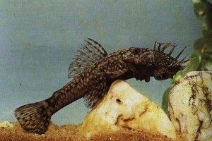 Аквариумные рыбки сомики: анцитрусы, брохисы, броняки