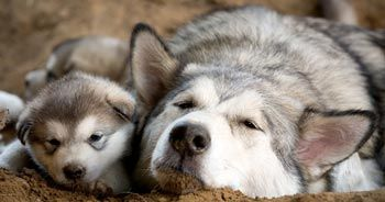 аляскинский маламут щенок и мама