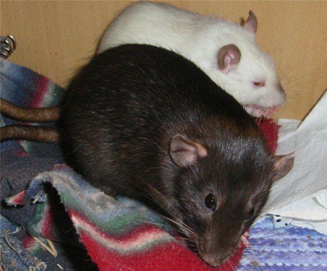 Удивительные факты о крысах