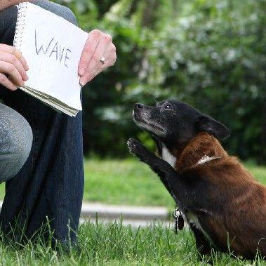 Vrba (ime psa) pada na zemlju, kada je čita komandu