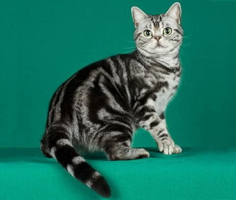 Американская короткошерстная кошка (American Shorthair)